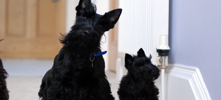 scottie dogs pet friendly accommodation